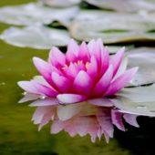aquatic-beautiful-bloom-blooming-539694 (1)